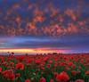 Poppies in the sky (Robyn Hooz) Tags: poppies beauty sky cielo neutro nd filter alba nuvole clouds panorama breeze sunsrise papaveri tessera venezia