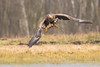 White-tailed eagle (Haliaeetus albicilla) bielik (tomaszberlin) Tags: whitetailed eagle haliaeetus albicilla bielik poland wildlife bird birdofprey birdwachers animal tree sky nikon d500 nature