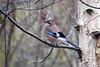 Jay (Rich Jacques) Tags: jay botanicalgardens sheffield january 2018 bird nature wildlife