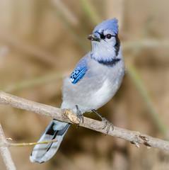 Backyard Jay (tresed47) Tags: 2017 201712dec 20171222homebirds birds bluebird canon7d chestercounty content december fall folder home pennsylvania peterscamera petersphotos places season takenby us