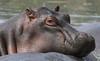 Stay Relaxed (AnyMotion) Tags: hippopotamus flusspferd hippo nilpferd hippopotamusamphibius portrait porträt portraitaufnahmen 2018 anymotion serengetinationalpark tanzania tansania africa afrika travel reisen animal animals tiere nature natur wildlife 7d2 canoneos7dmarkii ngc npc