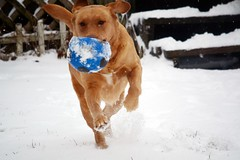 At least Daisy loves to be outside running in the snow. (kennethkonica) Tags: dog pet animal canonpowershot canon indianapolis indiana indy hoosier midwest usa fun faces marioncounty playful yellowlab running movement ball daisy