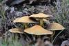 DSC_2315_Mushroom patch (sdttds) Tags: mushrooms fungi pilze fruitingbodies macro nature saprotrophic 2018 16jan2018 westsacramento yolocounty