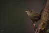 Zaunkönig (Wren, eurasian) (tzim76) Tags: zaunkönig troglodytes wren singvogel gesang lowlight wildlife nature outdoor birds