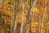 Natural light like fire (valérielecomte) Tags: light nature forest automn automne lumière luminosité saison feuilles couleurs couleur colors arbre arbres tree forêt parc park tron orange wallpaper jaune yellow canada quebec québec mont tremblant