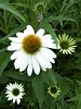 Wheaton, IL, Cantigny Park, White Cone Flowers (Mary Warren 9.6+ Million Views) Tags: wheatonil cantignypark nature flora plants garden park green white blooms blossoms flowers coneflowers