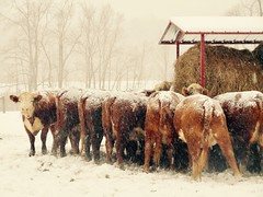 the mamas (emiliana d) Tags: farm caws snow winter miniature donkeys