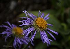 Aster Amellus (ChrisKirbyCapturePhotography) Tags: aster asteramellus king george asteer purpleflower purpleandorange garden flower botanicgardens chriskirbycapturephotography