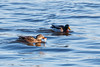 2018 01 13 - Lock and Dam 14-188.jpg (mh803) Tags: lockanddam14 duck wildlife nature waterfowl mallardduck iowa leclaire unitedstatesofamerica animal waterduck wild