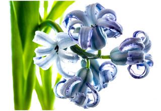 Hyacinth. . .