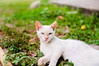 Majestoso (KakaR2R) Tags: gato cat white whitecat gatobranco natureza nature blueeyes grass grama