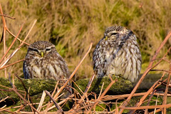Two Little Owls (Terry Angus) Tags: littleowl owl