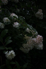jdy220XX20170808a2825Bias-2 stops.jpg (rachelgreenbelt) Tags: ghigreenbelthomesinc usa eudicots greenbelt northamerica midatlanticregion ouryard asteridsclade ordercornales maryland americas familyhydrangeaceae magnoliophyta asterids cornales cornalesorder floweringplants genushydrangea hortensia hydrangeafamily hydrangeaceae hydrangeaceaefamily spermatophytes hydrangeapaniculatavanillastrawberry2011