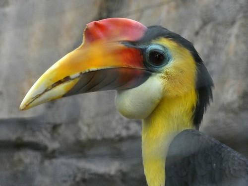Wrinkled hornbill, male