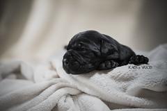 Male 4 ( CH Kaos Invicta x CH Vasco del Nostro Destino ) (Katarina Drezga) Tags: canecorso puppy puppies cute dogs dogphotography petphotography pets nikond750 tamron70200vcg2 animals dog