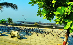 Happy Bench Monday! Mumbai, India (peggyhr) Tags: peggyhr bench pigeond trees promrnade ocean sunlight shadows dsc02078ab mumbai india lowtide