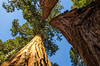 King's Canyon (rmstark3) Tags: tree sky wood sequoia kings canyon national park forest california winter looking up