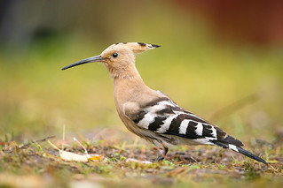Hoopoe, Härfågel (Upupa epops)