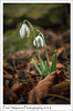 February Snowdrops (Paul Simpson Photography) Tags: flowers flower paulsimpsonphotography imagesof imageof photoof photosof february2018 stonewall snowdrops snowdrop leaves sonya77 petals flowering springflowers winterflowers whiteflowers lincolnshire
