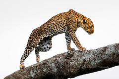 Leopard in tree in the Serengeti savanna (RicardMN Photography) Tags: arusha manyara masais ngorongoro serengeti tanzania tarangire leopard africa african africanleopard tree panthera pantherapardus savanna mammals legs skull jaguar rosettes habitat mara simiyu park wildlife biodiversity masaimara ricardmn ricardmnphotography photography animal nature natural bigfive thebigfive