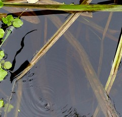 making waves ... (Edinburgh Nette ...) Tags: whirligig beetles water ponds shadows ripples