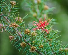 Devils Red. (Omygodtom) Tags: nikkor nature existinglight red green bloom nikon 7dwf coth5 nikon70300mmvrlens park dof bokeh d7100 contrast art abstract