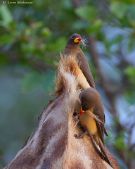 quid pro quo (leendert3) Tags: leonmolenaar wildlife nature krugernationalpark southafrica birds mammals yellowbilledoxpeckers giraffe ngc npc