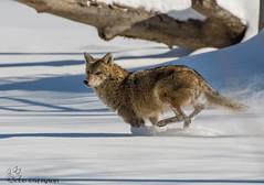 Coyote running over a frozen Fox River. (Estrada77) Tags: coyote wildlife nikond500200500mm outdoors foxriver furrycreatures winter feb2018 illinois
