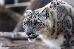 Snow Leopard Prowling (Holfo) Tags: bigcats cats d750 jessops nikon rescuecentre zoo leopard snowleopard staring eyes animal looking seeing fur concentration concentrate wildlife nature super beauty