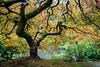 The Tree 2017 (Radiant Night) Tags: portlandjapanesegarden maple japanesemaple radiantnightphotography tree rain carlmiller