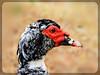 Πάπια σε προφίλ  !!! (Spiros Tsoukias) Tags: hellas ελλάδα πουλιά πάπιεσ υδρόβιαπτηνά φύση λίμνεσ ποταμοί χωράφια χορτάτι greece birds ducks aquaticbirds nature lakes rivers fields grecia uccelli anatre uccelliacquatici natura laghi fiumi campi grèce oiseaux canards oiseauxaquatiques lacs rivières champs griechenland vögel enten wasservögel natur seen flüsse felder греция птицы утки водныептицы природа озера реки поля καλοχώρι δήμοσ δέλτα φλαμίνγκο φοινικόπτερα ερωδιοί αργυροπελεκάνοι βαρβάρεσ γεράκια φαλαρίδεσ θεσσαλονίκη ορνιθοπανίδα πάρκοκέρκυρασ γαλλικόσ αξιόσ λουδίασ αλιάκμονασ εθνικόπάρκο δέλτααξιού μακεδονία macedonia