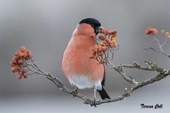 Camachuelo común (macho) (Pyrrhula pyrrhula) (Tan campante) Tags: camachuelo pyrrhula