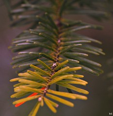 changes are coming (Kens images) Tags: trees branches needles macro world colour transition winter nature rural country canada