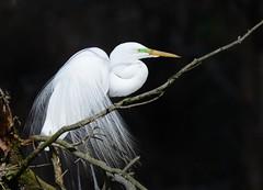 Great Egret! The most showy time of year! (Christine Fusco) Tags: whiteegret breedingplumage southcarolina thelowcountry bayou swamp