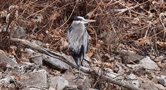 Great Blue Heron_9603 (Porch Dog) Tags: 2018 garywhittington kentucky nikond750 nikkor200500mm greatblueheron bird avian winter february feathers