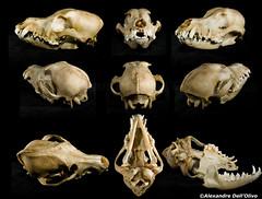 Canis lupus familiaris (achrntatrps) Tags: crânes skulls bones os animals nikkor d800 pce45mmf28 alexandredellolivo suisse lachauxdefonds lycéeblaisecendrars collection sb900 sb800 achrntatrps achrnt atrps photographe photographer flash