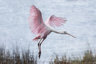 Roseate Spoonbille coming in for a landing at Merritt Island