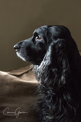 7/52 - Sammy 2018 (conniegavin12) Tags: 52weeksfordogs fieldspaniel spaniel pet dog