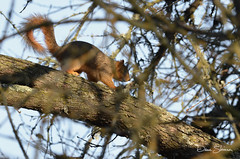 Cosumnes Bird Count 14 (Dave Skinner Photography) Tags: cosumnes river preserve bird birding oak tree hawk heron downy woodpecker robin train deer