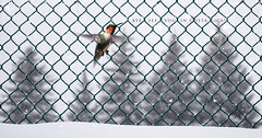 my last cold fence before I'm off to Costa Rica! (marianna_a.) Tags: hummingbird hummy hummer fence winter snow falling trees chainlink green composite hff mariannaarmata