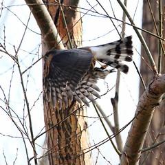Adult Sharp-shinned Hawk with American Goldfinch (jlcummins - Washington State) Tags: bird yakimacounty home wildlife fauna tamronsp150600mmf563divcusd canon washingtonstate sharpshinnedhawk