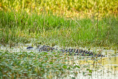 DSC07650.jpg (joe.spandrusyszyn) Tags: lakeland unitedstatesofamerica americanalligator florida animal crocodilia nature byjoespandrusyszyn circlebbarreserve polkcounty alligatormississippiensis reptile vertebrate alligatoridae alligator