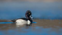 Ring-necked Duck (nikunj.m.patel) Tags: ringneckedduck ducks wildfowl waterfowl winter migration nature wild wildlife outdoors lake water blue