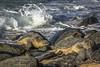 Hawaiian Green Sea Turtle (Chelonia mydas) *honu* on Baldwin Beach, Maui (Freshairphotography) Tags: hawaiian hawaiiangreenseaturtle sealife seacreature turtle greenseaturtle maui mauihawaii hawaii wildanimal beach