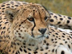 MASAI CHEETAH 2017 (gazza294) Tags: cheetah masaimara kenya wildlife wildlifemagazine wildlifephotography wildlifephotographer naturetrek nationalgeographic nature google flicker flickr flckr flkr flickrexplore gazza294 garymargetts