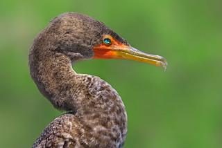 Double-Crested Cormorant Portrait