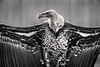 B&W Griffon Vulture 3-0 F LR 2-20-18 J067 (sunspotimages) Tags: birds bird vulture vultures nature zoo zoos zoosofnorthamerica nationalzoo fonz fonz2018 wildlife bw blackandwhite monochrome griffonvulture griffonvultures