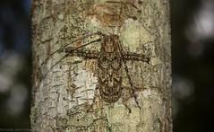 Acacia longicorn (dustaway) Tags: camouflage crypsis acacia arthropoda coleoptera cerambycidae lamiinae rhytiphora longicornbeetle australianbeetles australianinsects