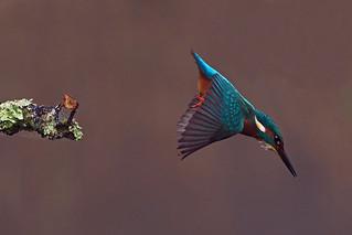 kingfisher (Explore)