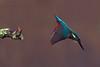 kingfisher (Explore) (DODO 1959) Tags: wildlife wales nature animal avian kingfisher birds perch dive fauna forestfarm cardiff micro43 300mmf4 omdem1mk2 olympus outdoor